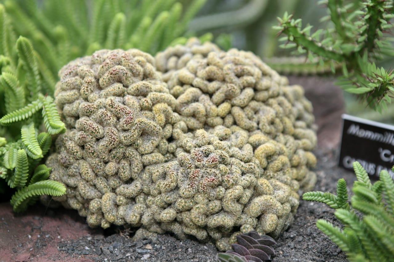 Mammillaria elongata f. cristata en jardín