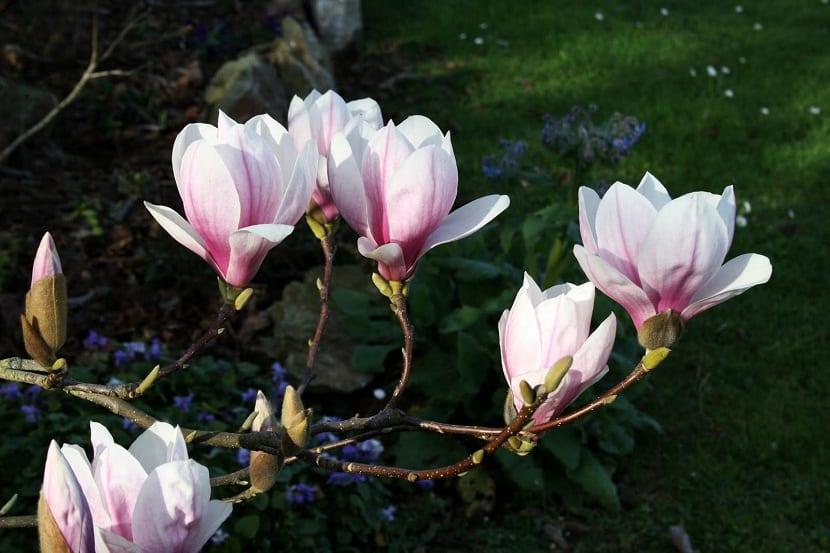 Schisandra Chinensis o Magnolia trepadora