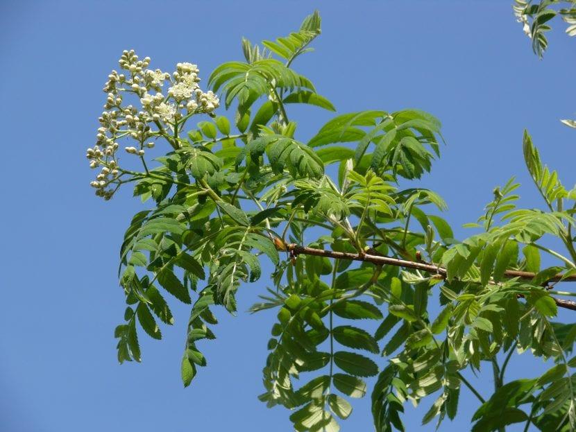 Hojas y flores de Sorbus domestica