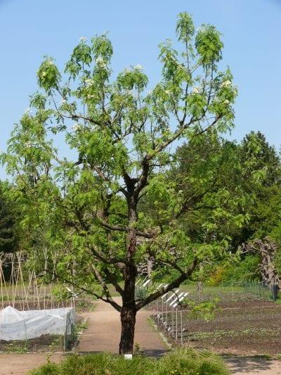 Sorbus domestica en jardín
