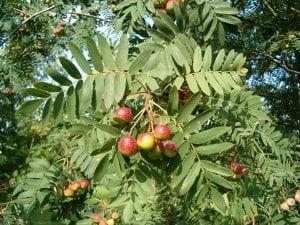 Frutos del Sorbus domestica
