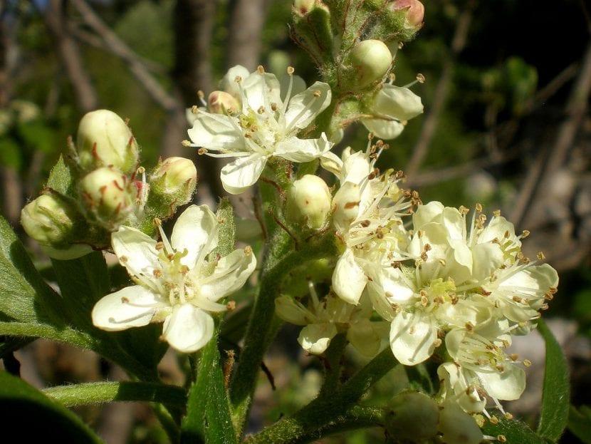 Flores del Sorbus domestica