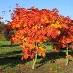 Acer japonicum 'Vitifolium' en otoño