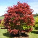 Acer palmatum 'Beni Maiko' en jardín