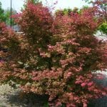 Ejemplar de Acer palmatum 'Deshojo'