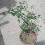 Acer palmatum de semilla
