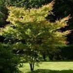 Ejemplar de Acer palmatum 'Senkaki'