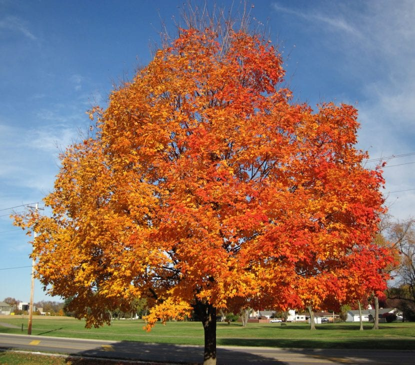 Árbol de Acer sacharum