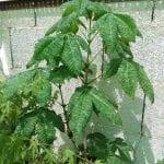 Aesculus hipposcatanum o Castaño de Indias