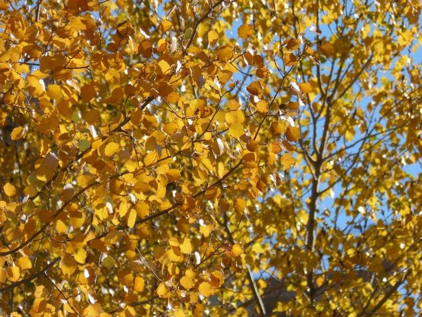 Álamos blancos en otoño