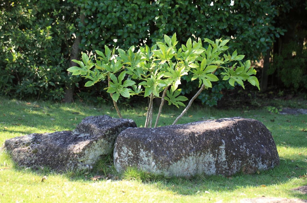 La aralia es una planta decorativa