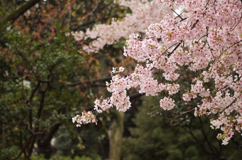 Árbol de cerezo japonés