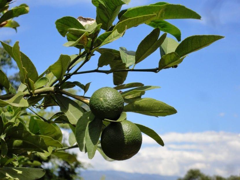 Árbol de limonero