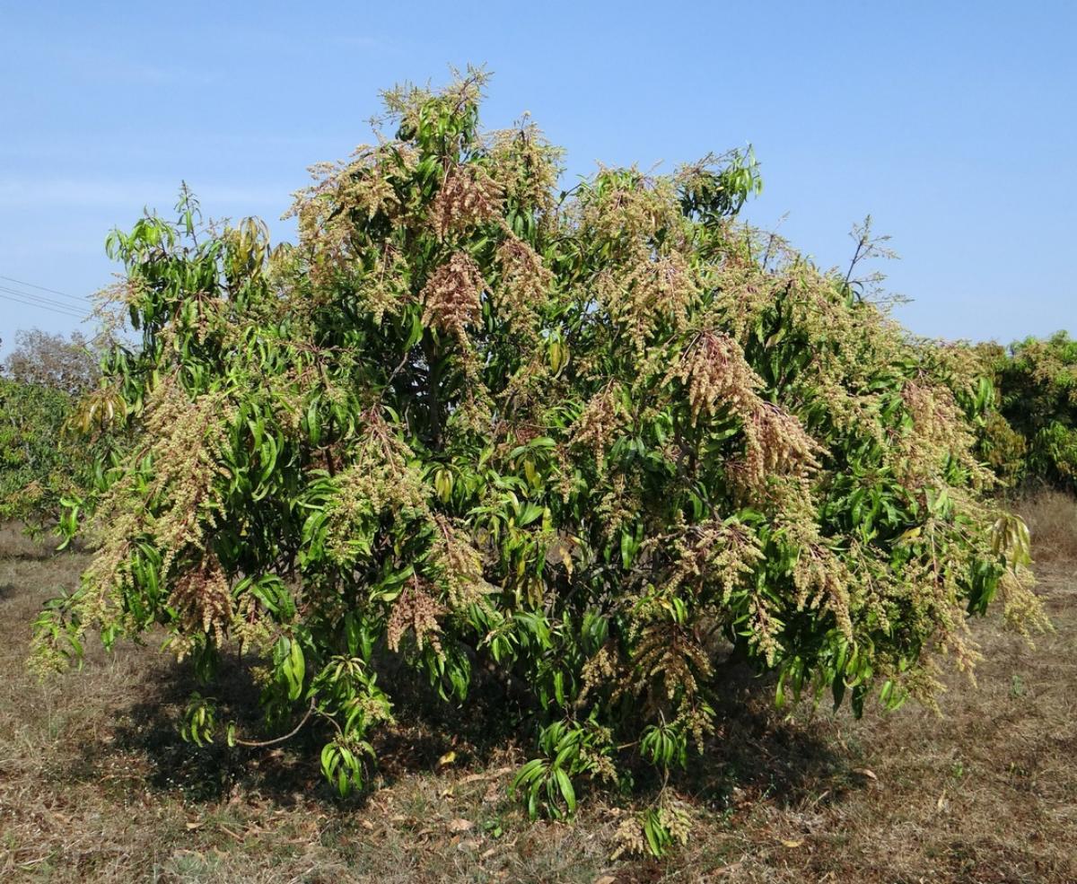 El árbol de mango es grande