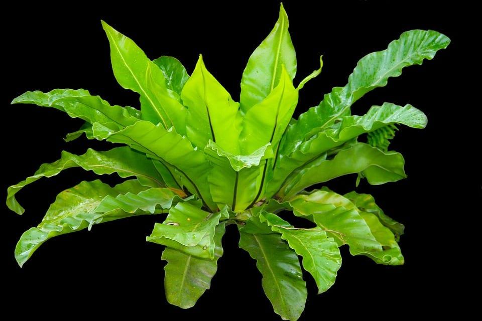 Helecho Asplenium nidus, una planta de interior muy decorativa