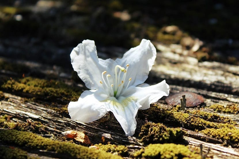 Planta azalea con flores blancas