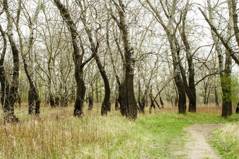 Bosque de álamos blancos