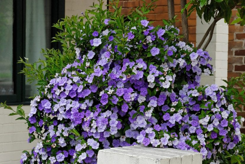 La planta Brunfelsia pilosa en flor