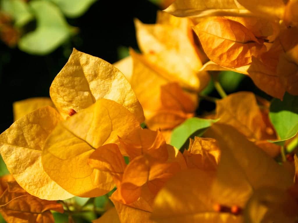 Buganvilla de color naranja