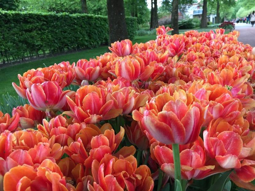 Bulbos de flor color anaranjado en el jardín Keunkheof