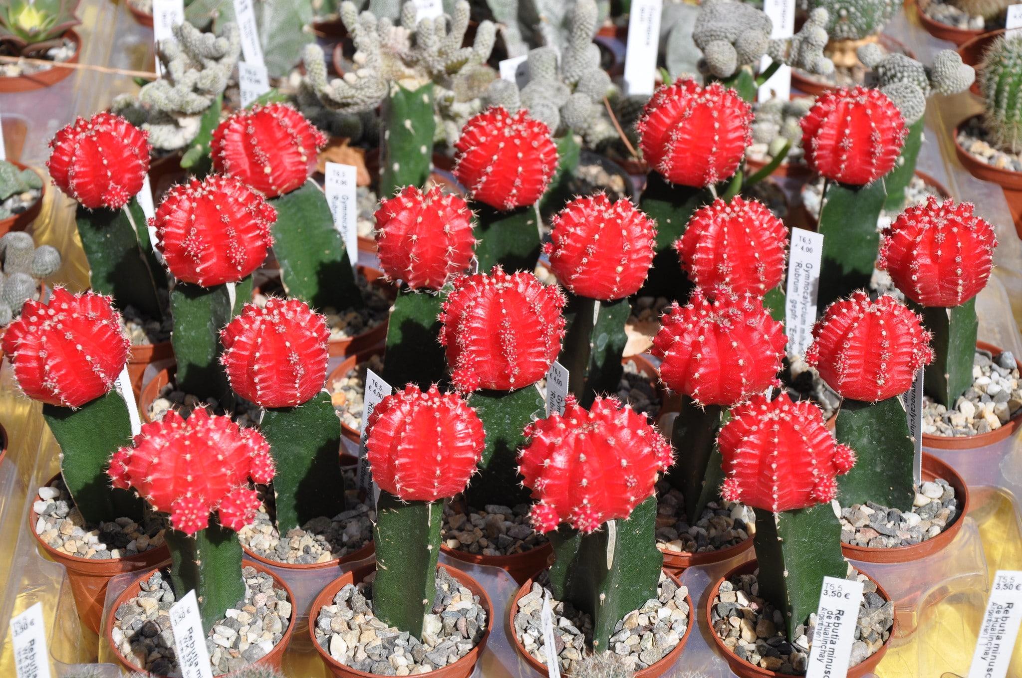 El cactus rojo requiere pocos riegos