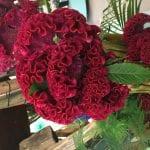 Preciosa Celosia de flores rojas