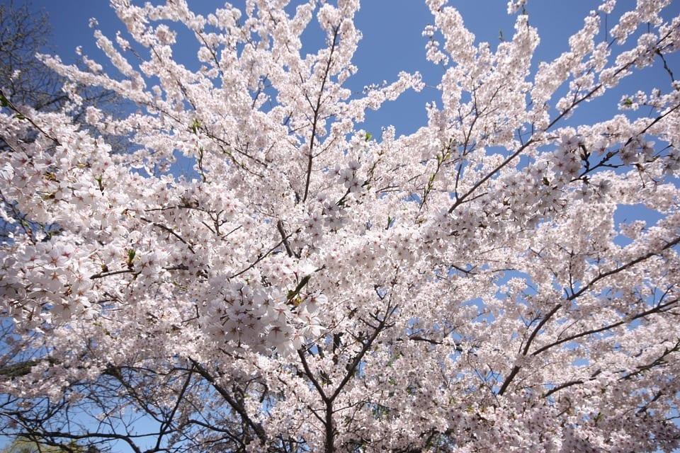 Cerezo japonés en flor, una maravilla de planta