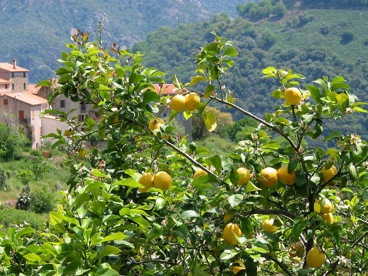 Vista del limonero