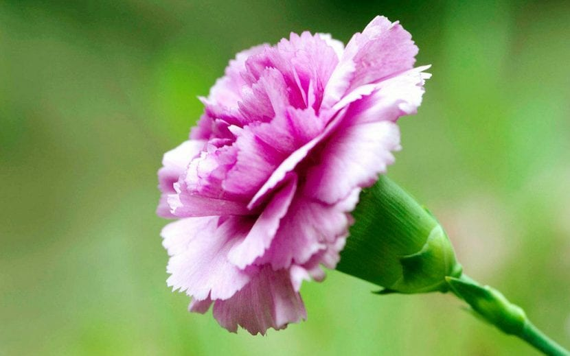 Clavel de color rosa