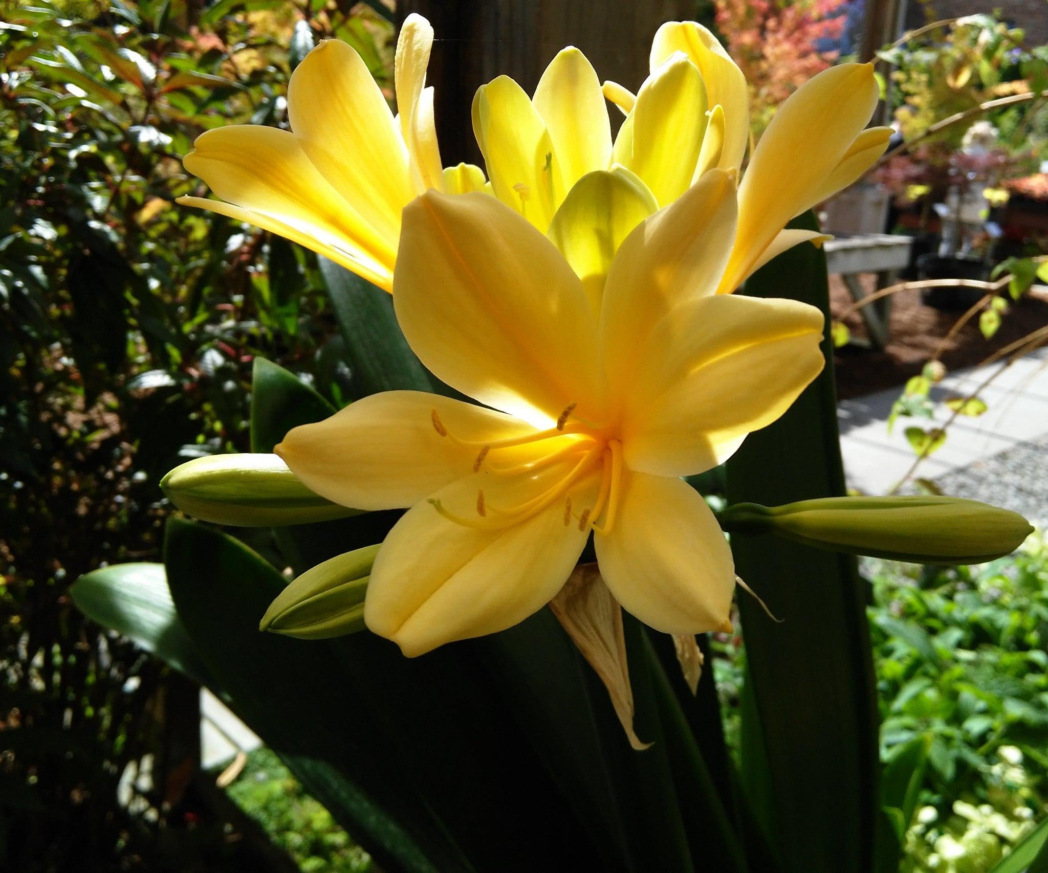 La clivia puede tener flores amarillas