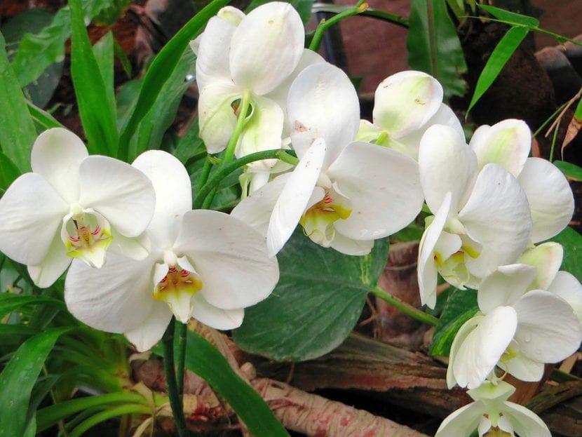 Cymbidium de flor blanca