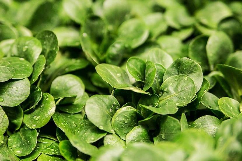hortaliza de hoja