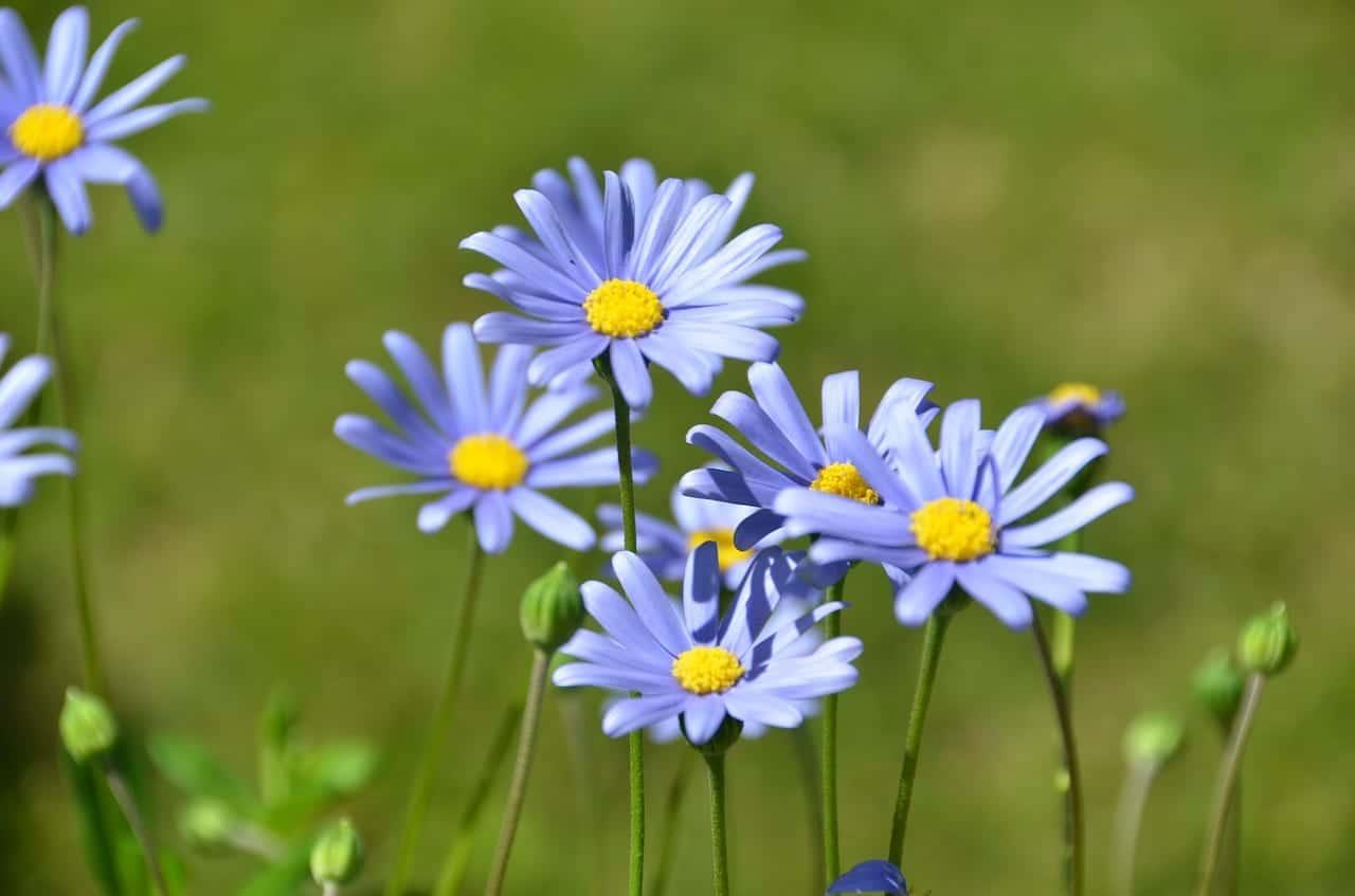 Flores de la planta Felicia