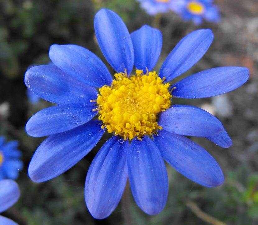 Preciosa flor de la planta Felicia