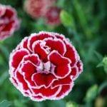 Flores del Dianthus caryophyllus