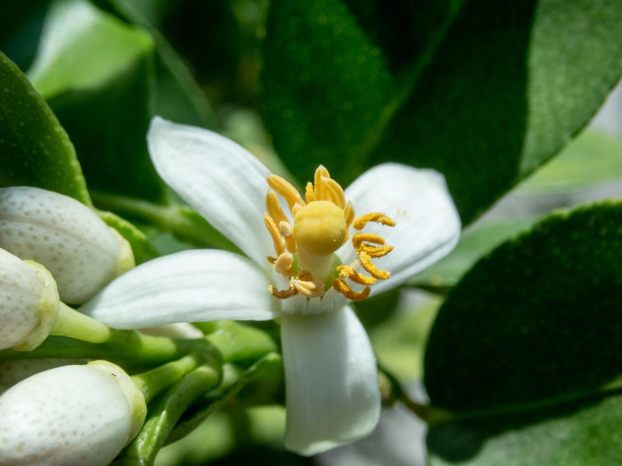 El limonero se planta a finales de invierno