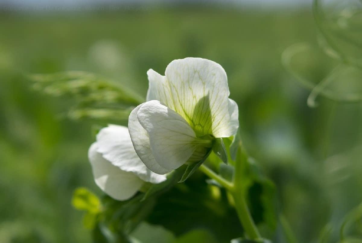 El guisante tiene la flor blanca
