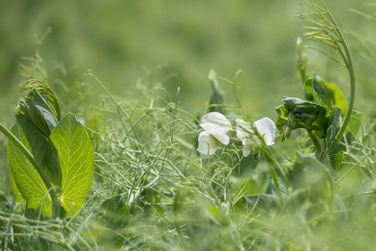 La planta del guisante crece rápido