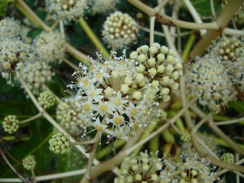 Flores de Fatsia japonica