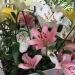 Flores de Lilium