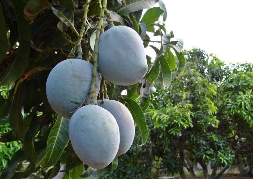 Árbol de mango con frutos