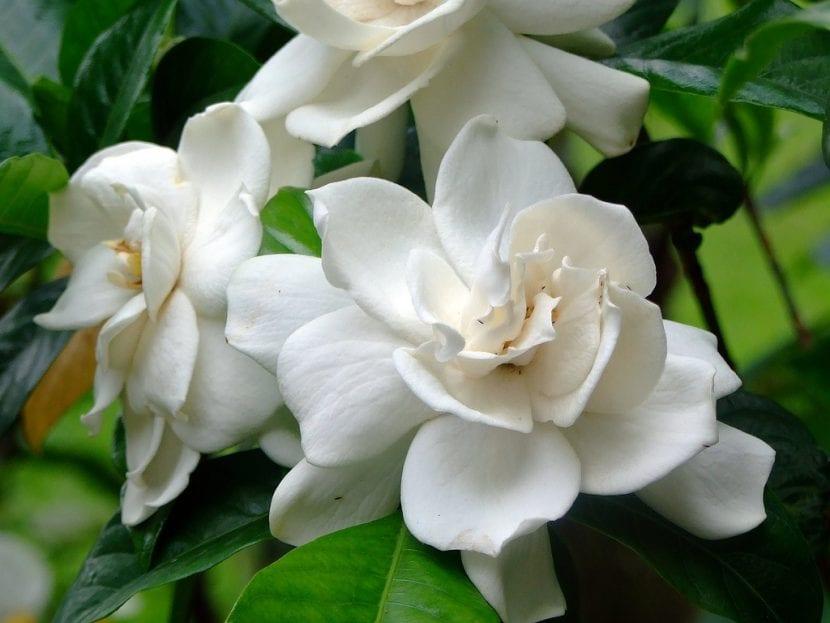 Gardenia en flor