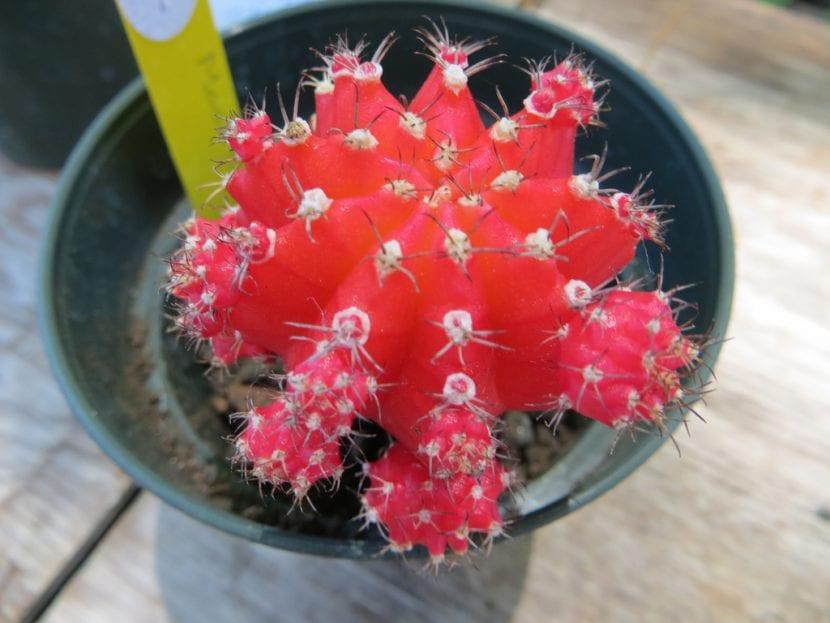 Cactus Gymnocalycium mihanovichi rojo