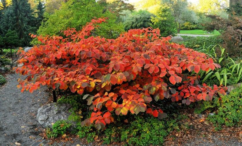 Planta de Hamamelis en otoño