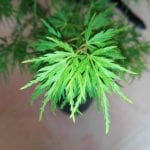 Hojas de Acer palmatum 'Seyriu'