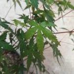 Hojas de Acer palmatum
