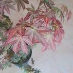 Hojas de Acer palmatum 'Atropurpureum'