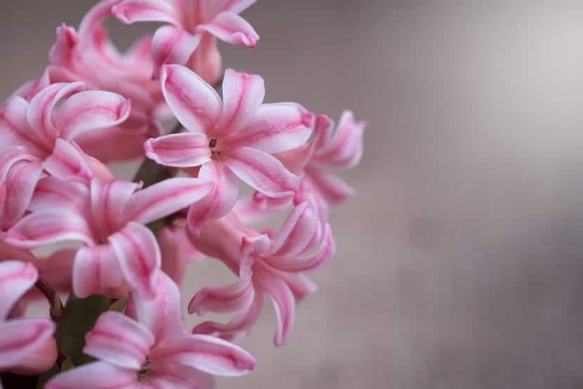 Flor de jacinto de color rosa