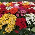 Plantas de Kalanchoe en flor
