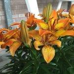 Planta de Lilium de flor naranja